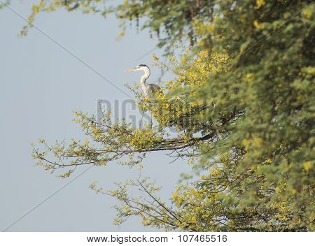 Grey Heron Perched In A Tree
