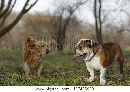 English Bulldog And Cocker Spaniel Playing On The Lawn