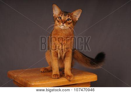 Somali kitten ruddy color