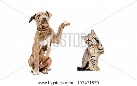 Playful puppy pit bull and a  kitten Scottish Straight