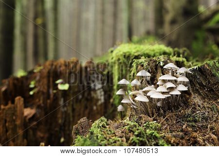 Mycena On Old Tree