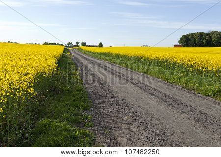 Rapeseed both side a gravel, dirt road.