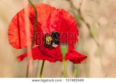 Poppy and bumble - splashes of color in barley field