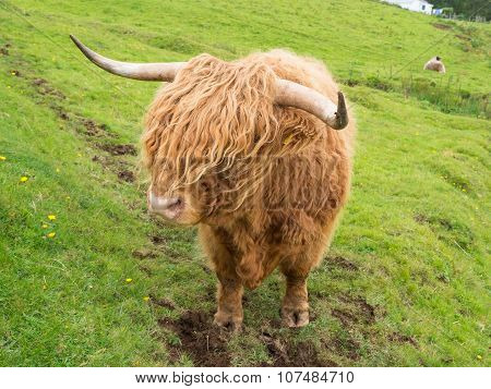 Scittish highland cow