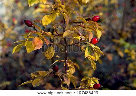 Dogrose Branch With Golden Leaves In The Fall