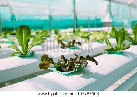 Green Vegetable hydroponics farm.