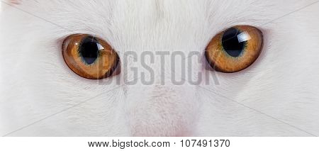Yellow Eyes Of A White Domestic Cat.