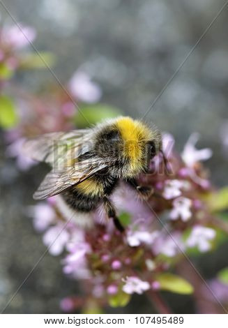 Bumle Bee On A Pink Flower