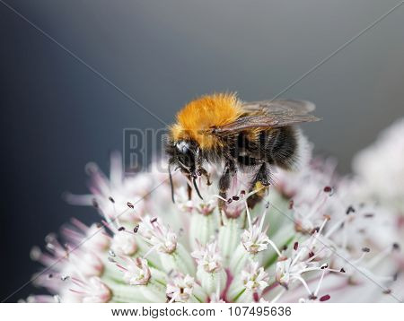 Bumble Bee On A Pink Flower, Gray Background