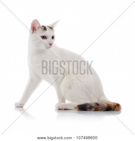 White Domestic Cat With A Multi-colored Striped Tail