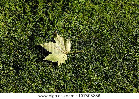 Close-up picture of a maple leaf
