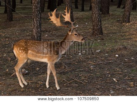 Beautiful Fallow-deer
