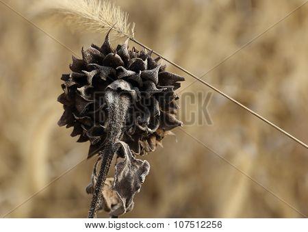 Sunflower in october.