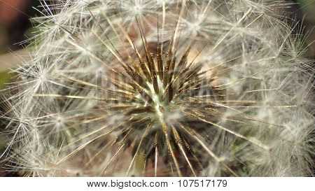 Inside a Dandelion Puff. Seeds like Porcupine Quills.