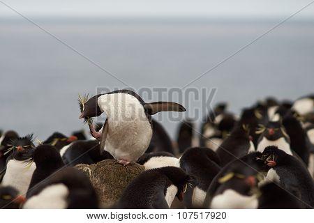Rockhopper Penguin Preening