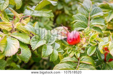 Dogrose bush with red fruits