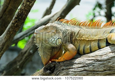Giant  Iguana Close Up