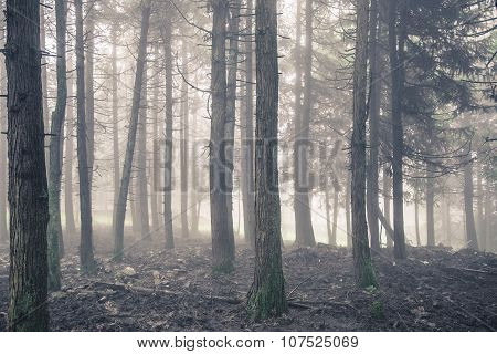Autumn pine forest in the fog