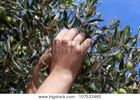 Hands Of A Young Woman Harvest Olives