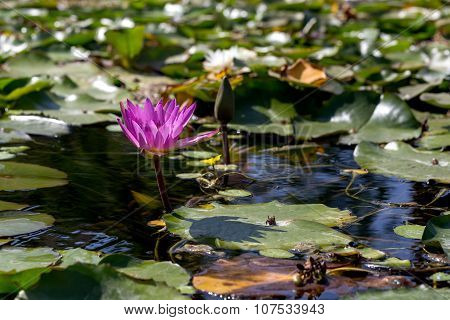 Nymphaea, Water Lily, Wild Nature