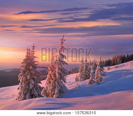 Christmas landscape. Spruce forest in winter. Beautiful light at sunset