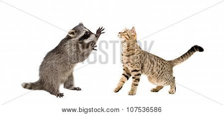 Playful raccoon and cat Scottish Straight