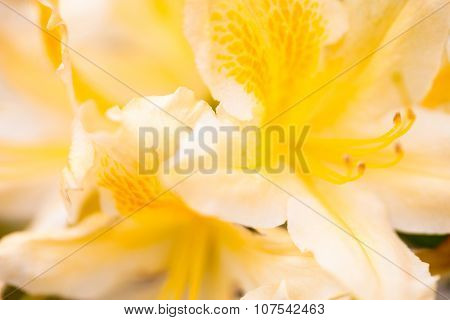 Rhododendron Yellow Flower