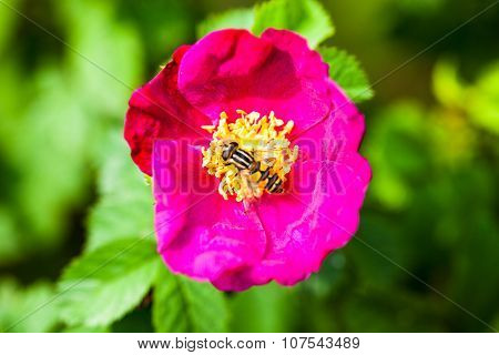 Pink Peony Flower With Pollinating Wasp