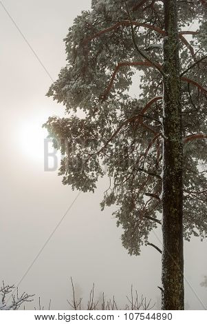 Spruce Tree In Winter With Sun Shinning Behind The Clouds
