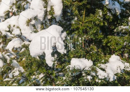 European Yew Covered With Snow