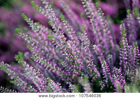 Natural Heather flower field. Calluna vulgaris. Small pink, lilac, violet plants. soft focus.
