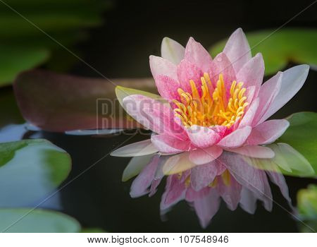 Beautiful Waterlily