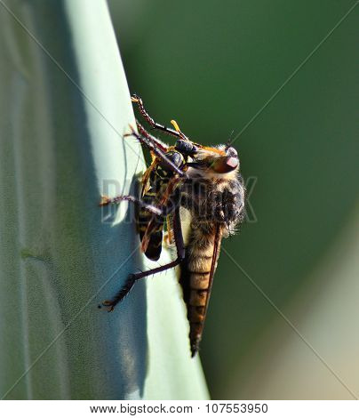 Robber fly trapping a small wasp
