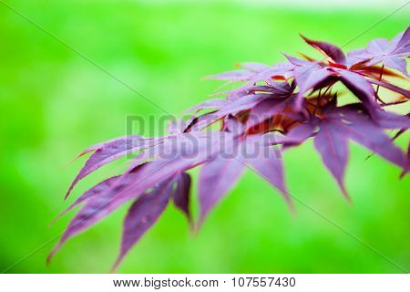 Pink Leaves Of The Japanese Maple (acer Palmatum)