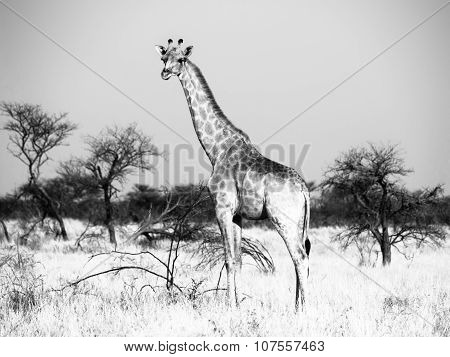 Standing giraffe in savanna