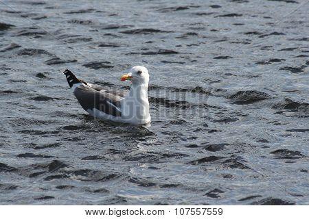 Single adult herring gull swimming in the sea