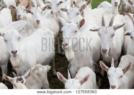 Flock Buren Goats