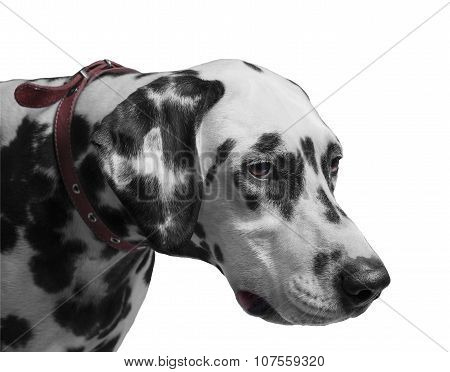 Dog Dalmatian Portrait I
