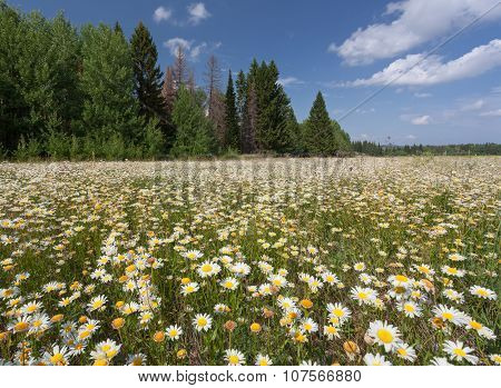 Field of daisies with coniferous forest and clouds in the background