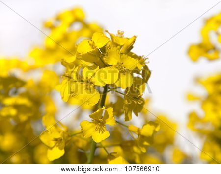 Detail Of Flowering Rapeseed On White Background