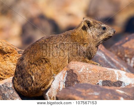 Rock hyrax sitting onthe stone
