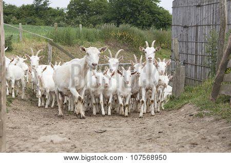 Flock White Goats