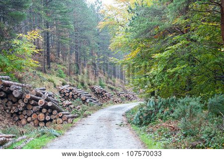 Spruce Timber Logging In The Forest