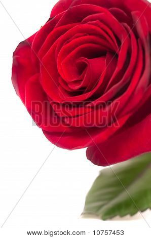 Red Rose. Closeup.