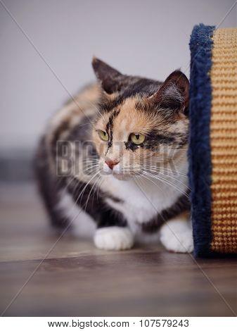 Domestic Beautiful Multi-colored Cat