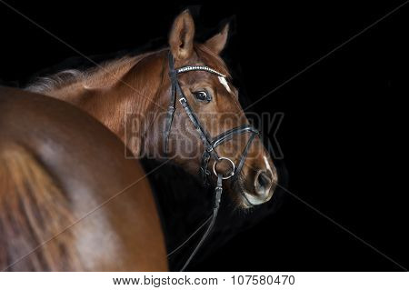 Warmblood Chestnut With Bridle