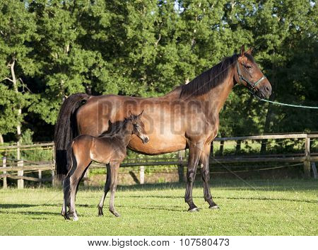 Holsteiner Mare With Young Foal