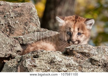 Female Cougar Kitten (puma Concolor) Hides In Rocks