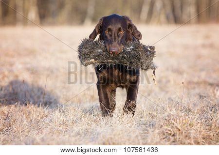 brown flat coated retriever dog