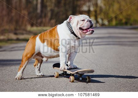 english bulldog dog on a skateboard